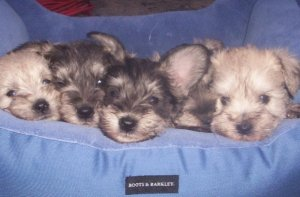 puppies,miniature schnauzers, too cute,